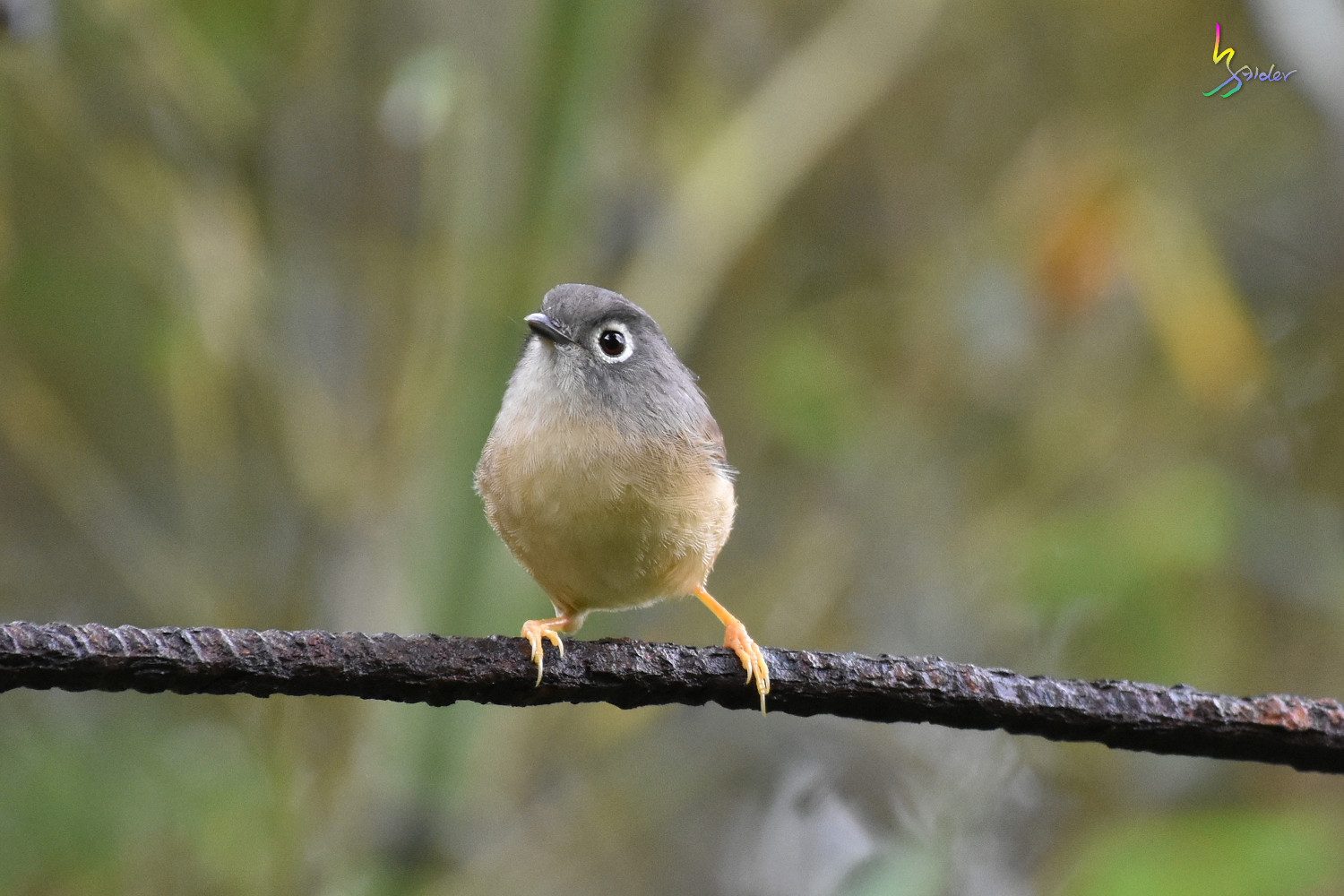 Grey-cheeked_Fulvetta_7202