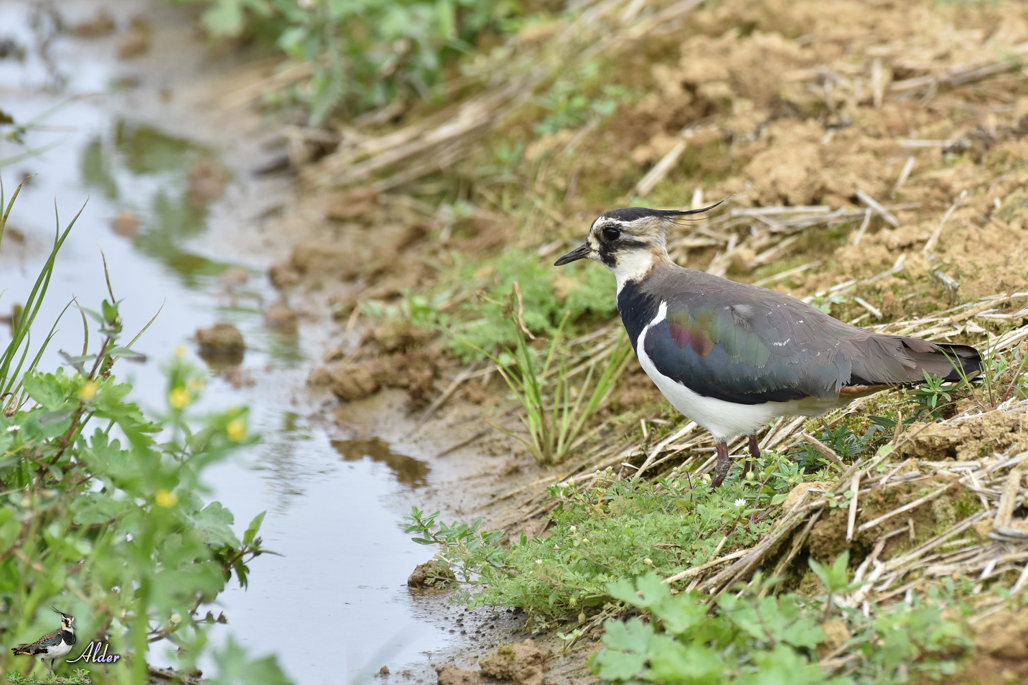 Northern_Lapwing_7573