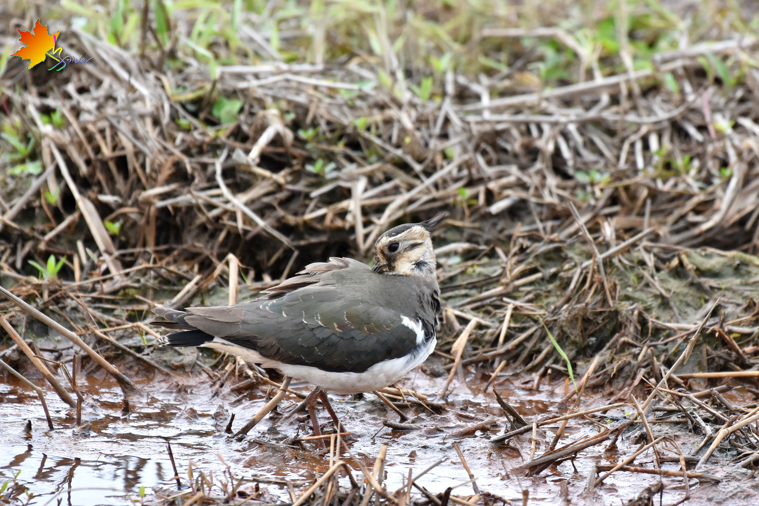 Northern_Lapwing_8686