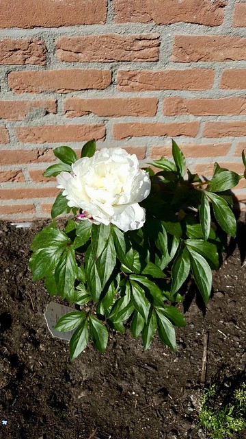 Roos landelijke tuin