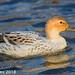 Silver Appleyard Duck?