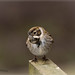 reed bunting 10