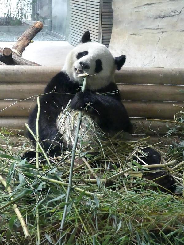 Großer Panda, Zoo Berlin