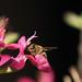 D2178046c Pink Salvia Bee