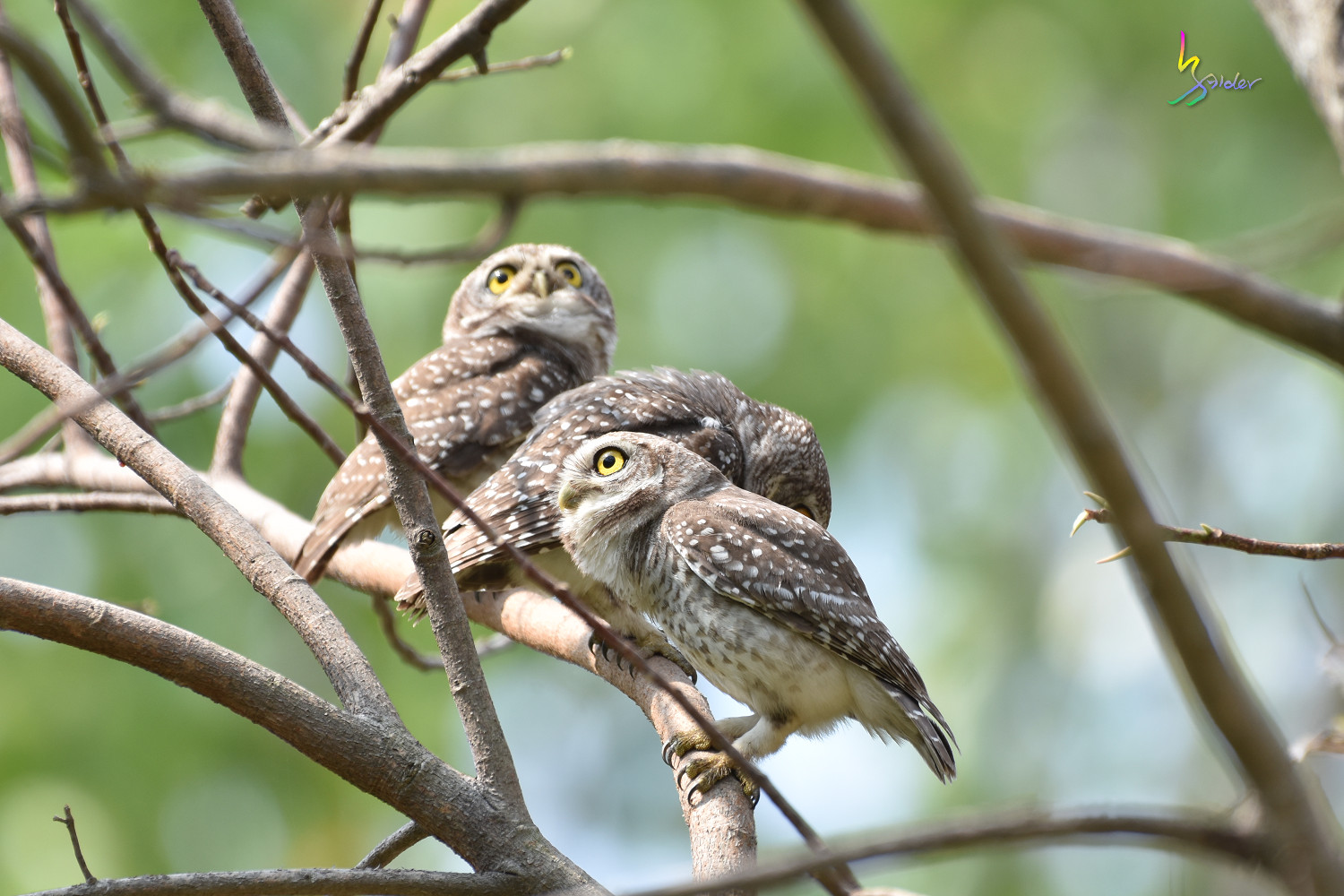 Spotted_Owlet_4529