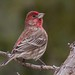 IMG_7080 red finch