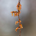 Small photo of American elm