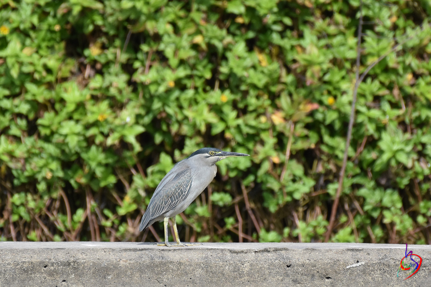 Striated_Heron_2155