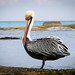 Brown Pelican  Pelecanus occidentalis por C.O'N