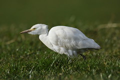 Egrets (Ardeidae)