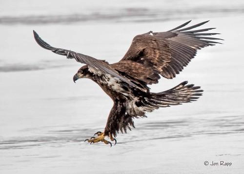 Eagle, Bald 6a (juvenile EB)