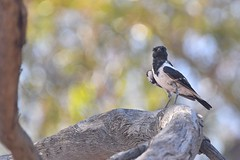 Hooded Robin ( Male )