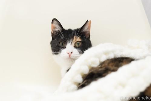 アトリエイエネコ Cat Photographer 38976031894_bc01ed409d 1日1猫!高槻ねこのおうち 里親募集中のミケコちゃん♪ 1日1猫!  高槻ねこのおうち 里親様募集中 猫写真 猫 子猫 大阪 初心者 写真 保護猫 カメラ Kitten Cute cat