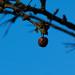 Shrivelled crab apple, Compton Rough