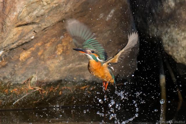 20180114-kingfisher-DSC_4415