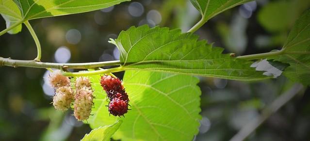 Dut Yaprağı Çayının Faydaları Nelerdir? Nasıl Tüketilmelidir