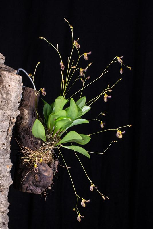 Miniatur-Orchideen Teil 4 - Seite 5 39844044894_49c1b22e8a_c