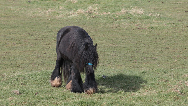 Shaggy black pony walking