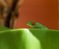 Red eyed Threefrog