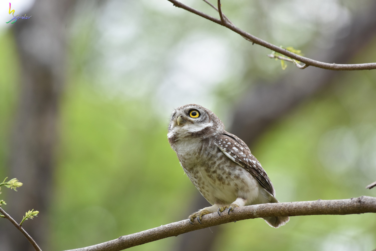 Spotted_Owlet_3818