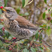 Fieldfare with berry