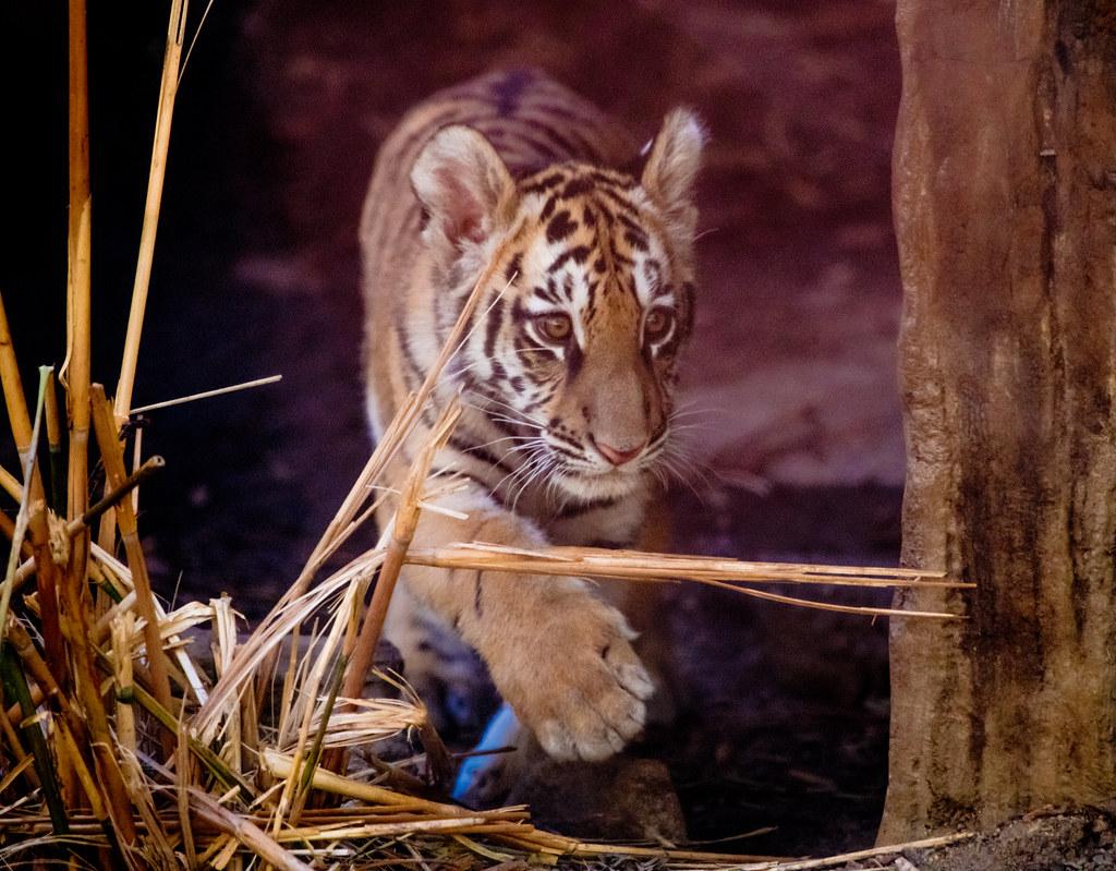Tiger_7