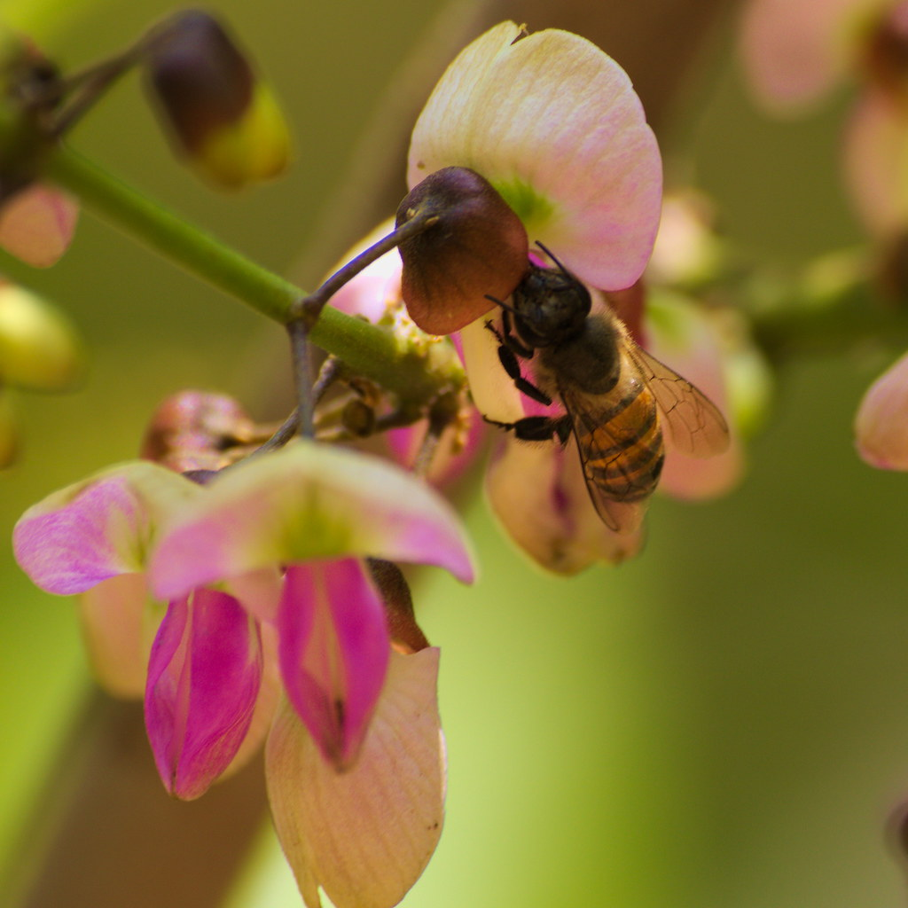 Apis cerana, Asiatic honey bee
