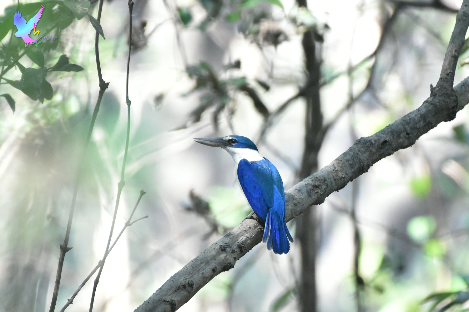 Collared_Kingfisher_2024
