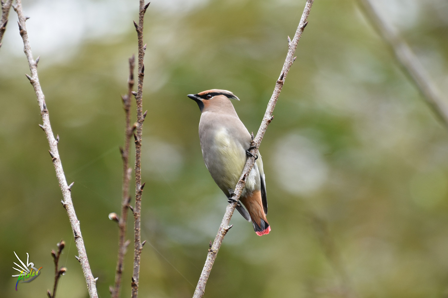 Japanese_Waxwing_7747