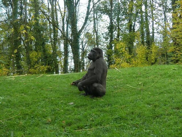 Gorilla, GaiaZOO
