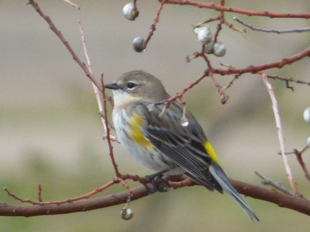 Yellow-Rumped Warbler, Dave Sanford Park
