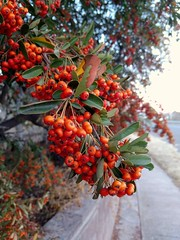 Pyracantha berries on Sunset, Clarkdale, AZ