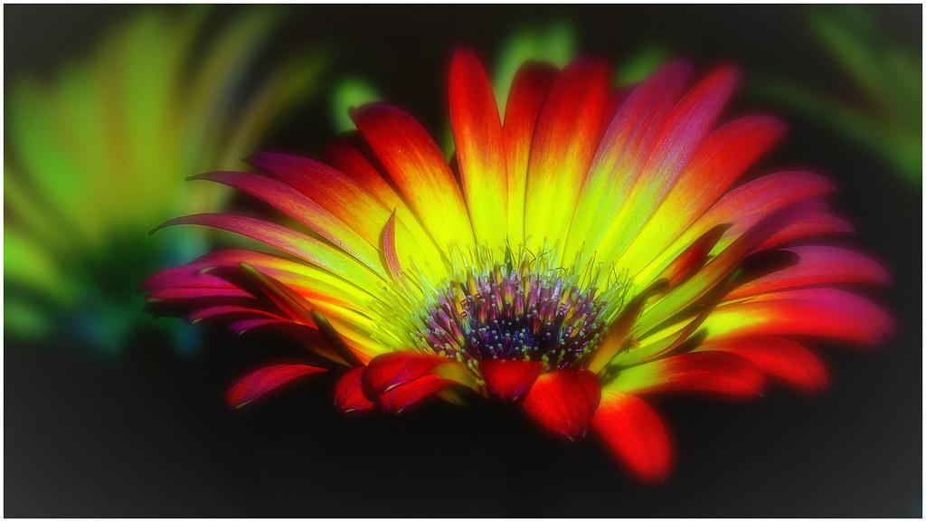 Gerbera-Blüten