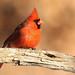 Cardinal rouge \ Northern Cardinal by Alain Daigle