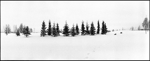 panoramic winter snow tree fir spruce