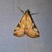 Crambidae: Talanga sexpunctalis