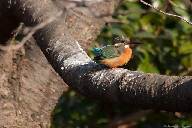 20180121-kingfisher-DSC_5162