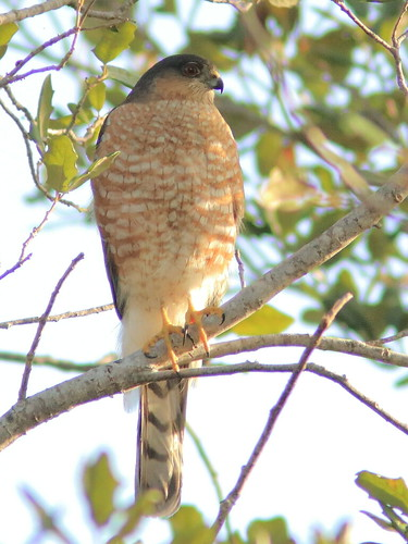 Sharp-shinned Hawk 04-20180211