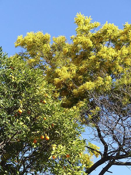 mimosa et oranger