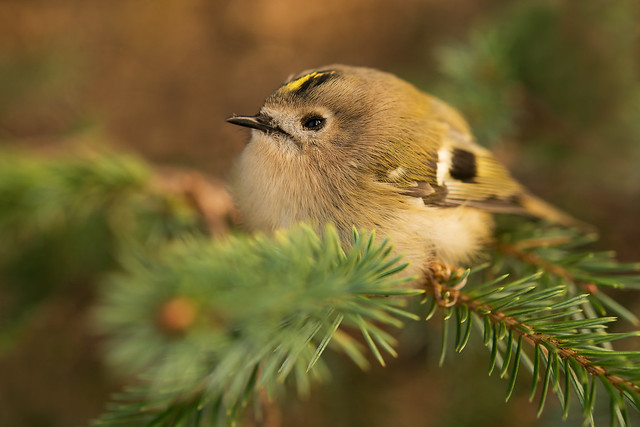 Common Goldcrest Regulus regulus