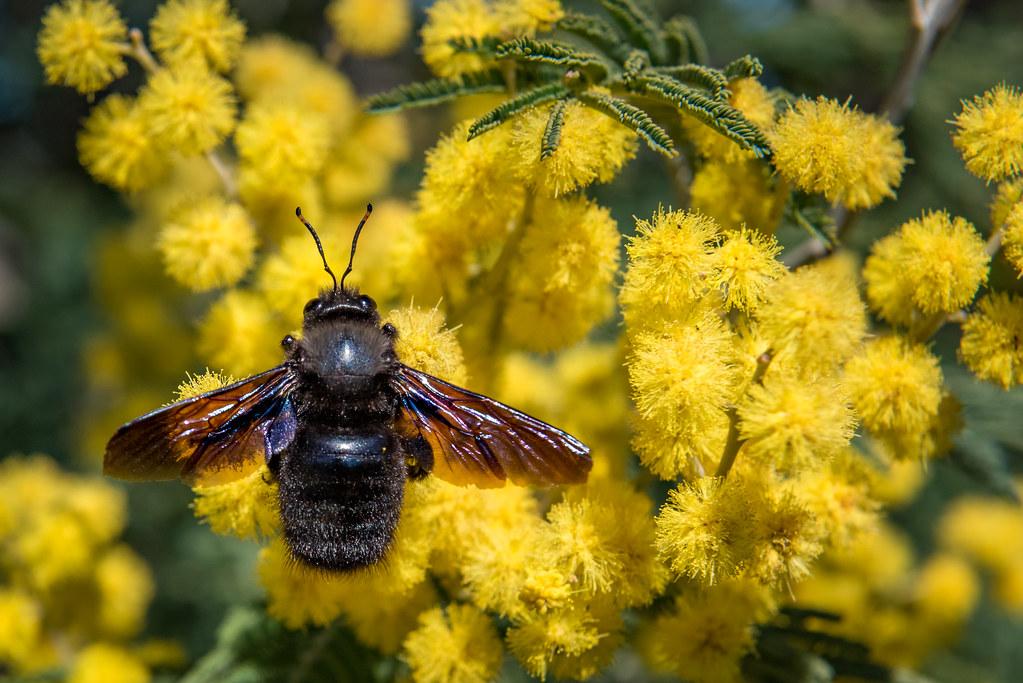 Violet Carpenter Bee/Abelha Carpinteira (Xylocopa violacea)