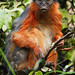 13_08-00-04 70Draw-0455af1 Western Red Colobus