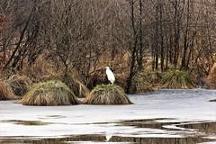 Aigrette à l'étang de la petite ramée