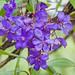 Tibouchina lepidota (Glory bush / Sietecueros)