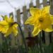 Daffodil Duo