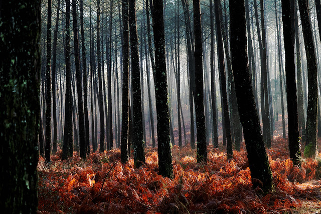 seignosse  foret landaise au petit matin seignosse forest landaise in the early morning