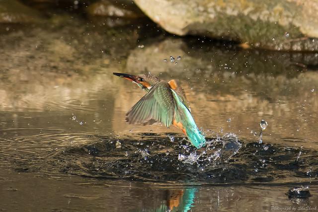 20180126-kingfisher-DSC_5623