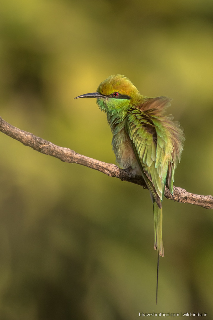 Green Bee-eater-6T8A0781