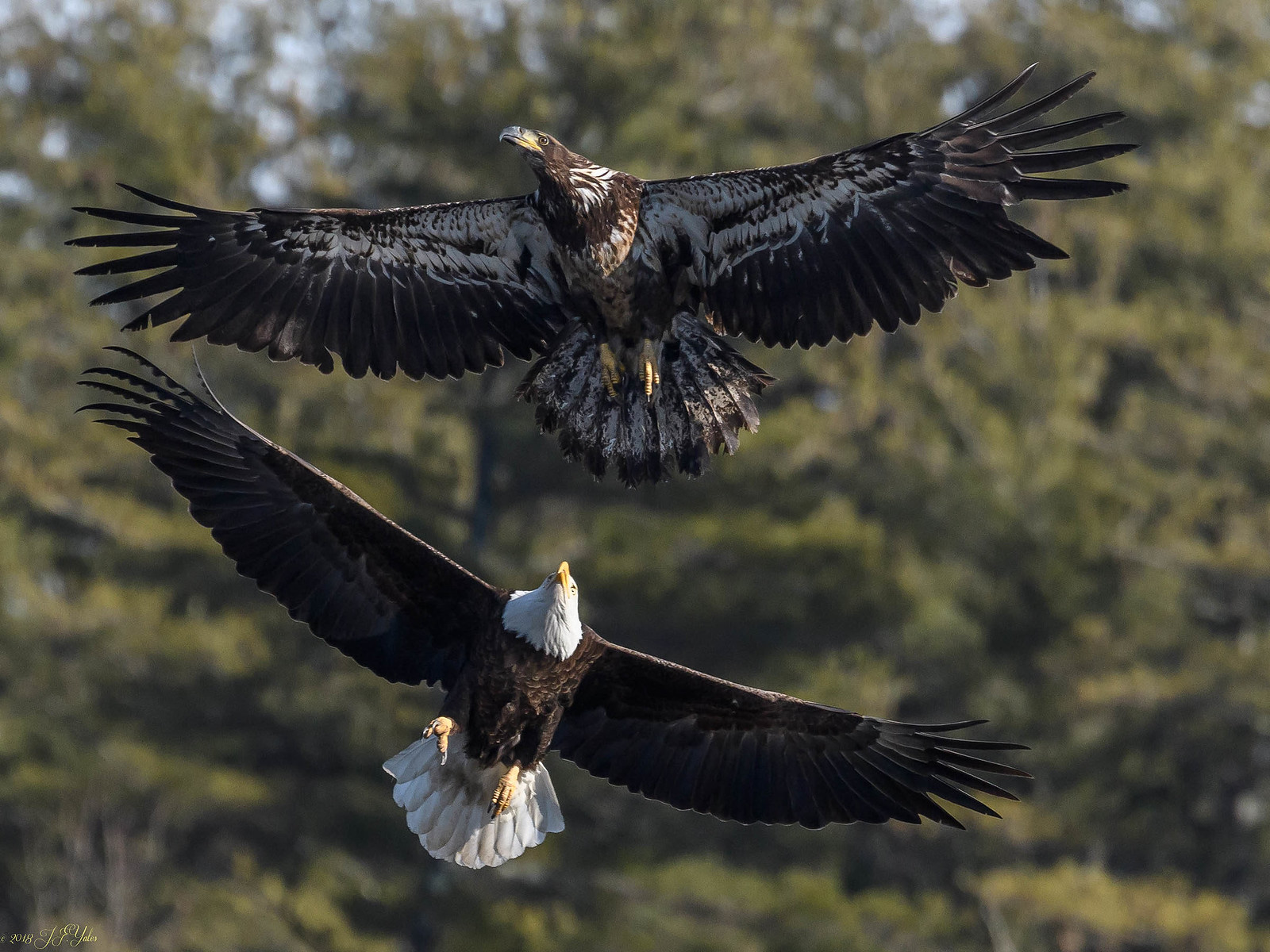 Bald Eagles The Chase