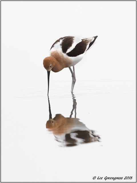 American Avocet Symmetry, Canon EOS 5DS, Canon EF 500mm f/4L IS II USM + 1.4x